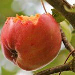 賞味期限切れのリンゴを食べると危険?【林檎(りんご)の賞味期限の注意点】