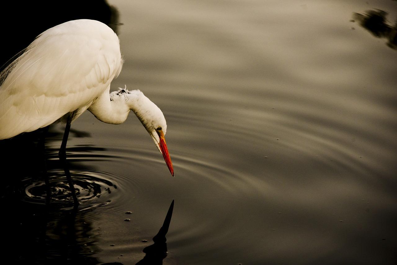 白鷺(シラサギ)