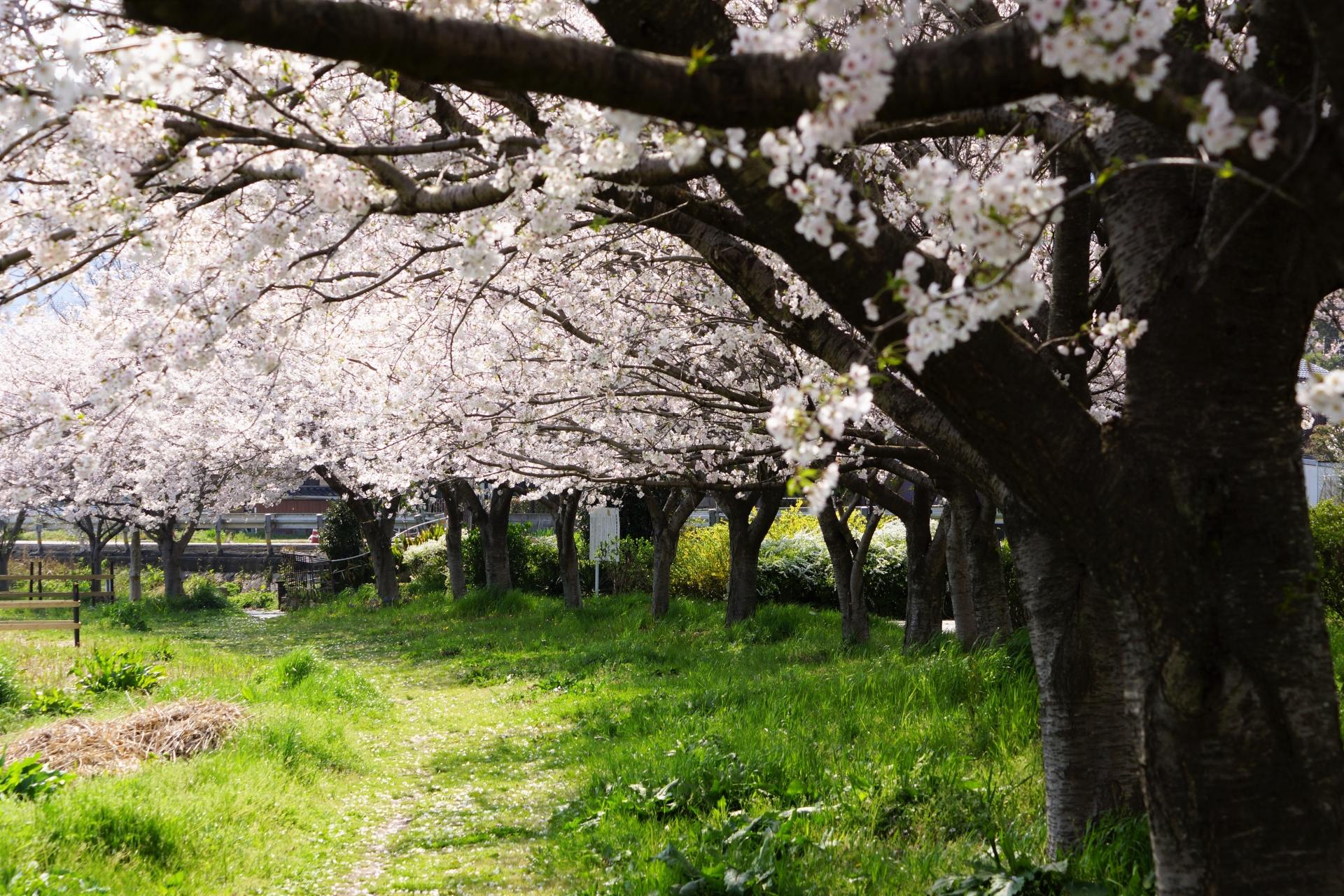 京都ソメイヨシノの桜